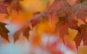 foliage, maple, autumn, Macro