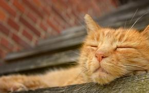 сон, отдых, морда, рыжий кот