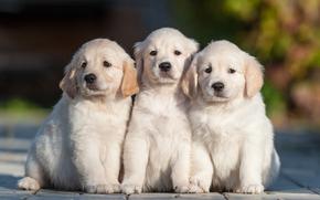 трио, троица, щенки, собаки