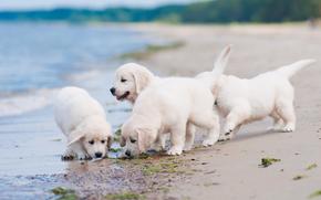 квартет, пляж, щенки, собаки