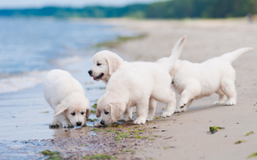 Dog, Puppies, quartet, beach