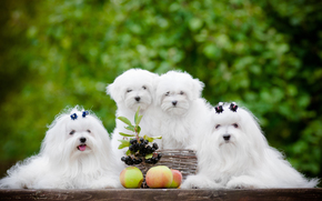 Dog, Puppies, quartet, apples, BERRY