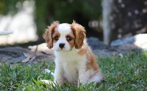 трава, щенок, собака