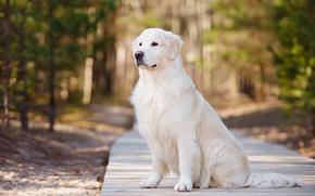красавец, пёс, собака