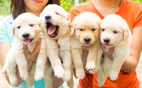 квартет, щенки, собаки