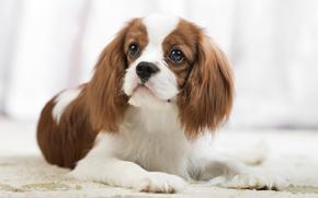 портрет, взгляд, собака