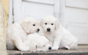 троица, трио, щенки, собаки