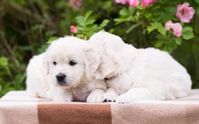 парочка, щенки, собаки