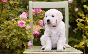 цветы, розы, щенок, стул, собака