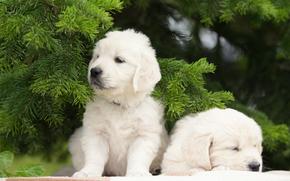 двойняшки, парочка, щенки, еловые ветки, собаки