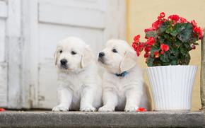 Cane, Cuccioli, gemelli, coppia, fiore, begonia