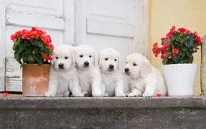 квартет, цветы, щенки, бегония, собаки