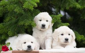 трио, троица, щенки, цветок, собаки, роза, еловые ветки