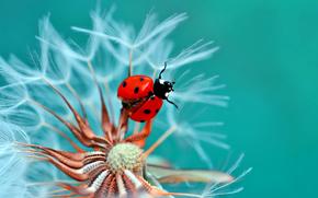 ladybug, BEETLE, insect, salsify, flower, Macro