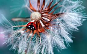 насекомое, козлобородник, жук, цветок, божья коровка, макро