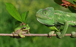 caméléon, grenouille, Direction
