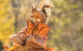 белка, рыжая, ботинки, осень