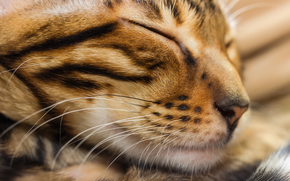 Focinho, sonho, gato, COTE