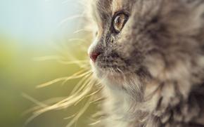 COTE, cat, museau, Macro