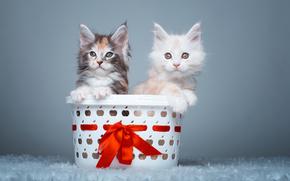 мейн-кун, котята, парочка, корзина