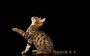 чёрный фон, лапка, Бенгальская кошка