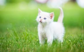 малыш, голубые глаза, котёнок, трава, белый котёнок