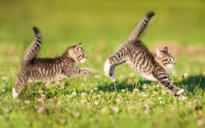 casal, caudas, g?meos, jogo, Gatinhos, captura, gramado