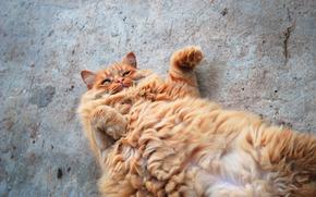 cat, COTE, kotyara, Red, fluffy, zhirtrest