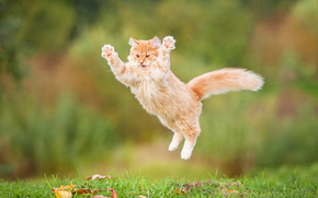 Red, fluffy, COTE, jump, cat