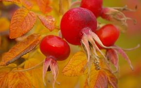 фотокартина, печать на холсте на заказ Украина ArtHolst осень, шиповник, плоды, листья, макро