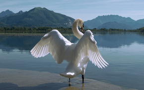 wings, lake, bird, Mountains, swan, nature