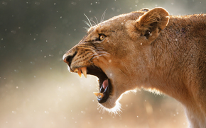 jaws, canines, Snout, lioness