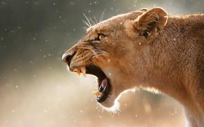 maxilas, caninos, Focinho, leoa