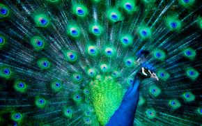 pavo real, la cola en forma de abanico, pájaro