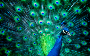 bird, fan-shaped tail, peacock