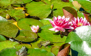 Frog, nature, pond, Water Lilies