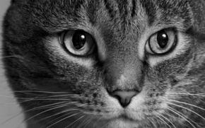 фотокартина, печать на холсте на заказ Украина ArtHolst кот, кошка, морда, взгляд, монохром, чёрно-белая