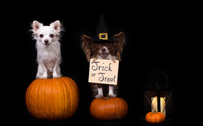 Halloween, Хэллоуин, собаки, чихуахуа, тыквы, фонарь