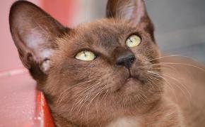 фотокартина, печать на холсте на заказ Украина ArtHolst Бурманская кошка, бурма, мордочка