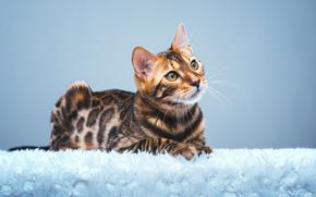 фотокартина, печать на холсте на заказ Украина ArtHolst Бенгальская кошка, бенгал, взгляд