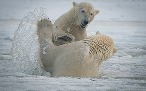 The Arctic National Park, Alaska, Polar Bears, Arctic National Wildlife Refuge, Bears, sparring, spray