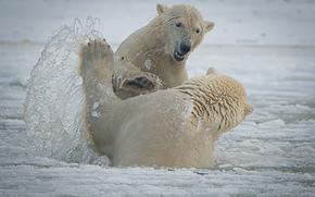 Национальный Арктический заповедник, Аляска, Alaska, белые медведи, Arctic National Wildlife Refuge, медведи, спарринг, брызги