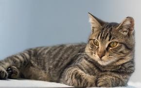 взгляд, портрет, кошка, кот