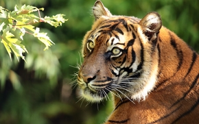 морда, тигр, хищник, портрет, Суматранский тигр, ветка
