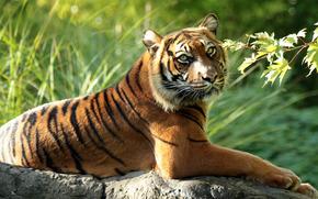 Sumatran Tiger, tiger, predator, wildcat, branch