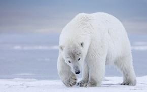 Alaska, orso polare, orso polare, sopportare