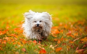 Havanese, dog, shaggy, foliage, autumn