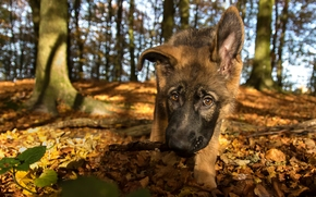German shepherd, dog, puppy, Snout, view, foliage, autumn