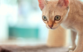 gatto, museruola, occhi, visualizzare, bokeh