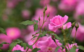 Roses, butonchiki, Macro